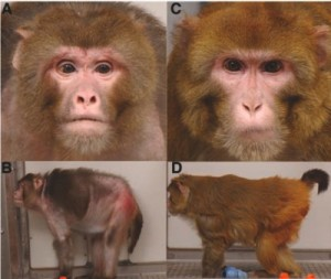 Control group monkey on left and calorically restricted monkey of the exact same age on the right