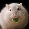 obese mouse